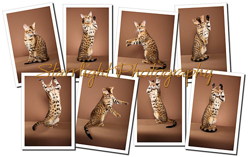 Bengal Collage